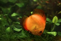 Yellow stripped discus Royalty Free Stock Image