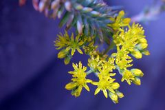 Yellow Succulent Flowers Selective-focus Photography Stock Photography