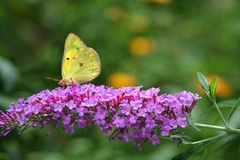 Yellow Sulphur butterfly feeding on butterfly bush. Backlit by the sun, this yellow sulphur looks transparent. Its black markings show through gossamer wings. On stock photos
