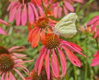 Yellow Sulphur butterfly profile on bright orange cone flower Royalty Free Stock Images