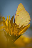 Yellow Sulphur on Yellow Flower Stock Images