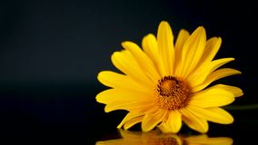 Yellow summer blooming daisy flower isolated on black stock video