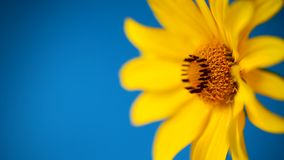 Yellow summer blooming daisy flower isolated on blue stock video