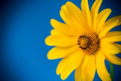 Free Yellow Summer Blooming Daisy Flower Isolated On Blue Royalty Free Stock Image - 161473406