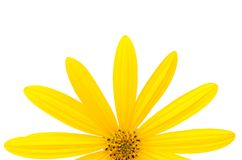 Yellow summer daisy Stock Photo