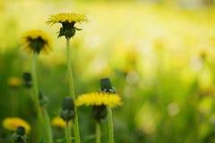 Yellow summer dandelion flowers Stock Photos