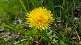 Yellow summer dandelion Stock Image