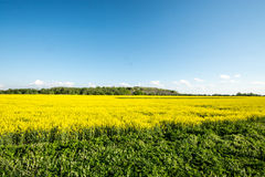 Yellow summer field, massive sky scape Stock Photos