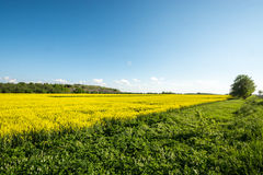 Yellow summer field, massive sky scape Stock Photography