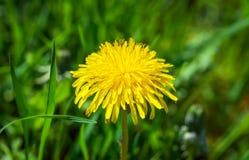 Yellow summer flower dandelion Stock Image