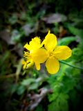 Yellow summer flower. Celandine forest stock photo