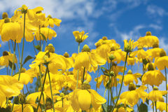 Yellow summer flowers Royalty Free Stock Image