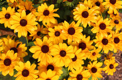 Yellow summer flowers Royalty Free Stock Images
