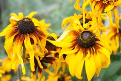 Yellow Summer flowers in daylight royalty free stock photography