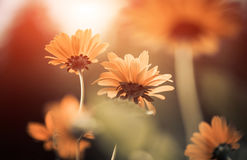 Yellow summer flowers Royalty Free Stock Photography