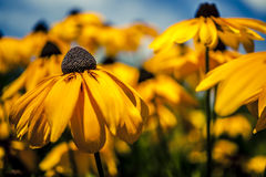 Yellow summer flowers in garden Royalty Free Stock Image