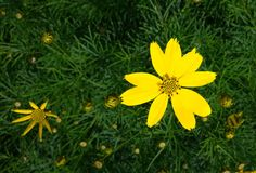Yellow summer flowers on a meadow Royalty Free Stock Image