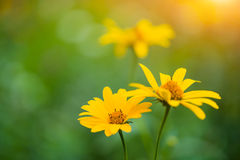 Yellow summer flowers at sunlight Stock Images
