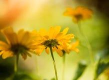 Yellow summer flowers at sunlight Stock Photos