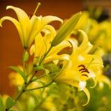 Yellow summer garden flowers Stock Image
