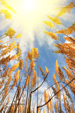 Yellow summer grass and sky Royalty Free Stock Image