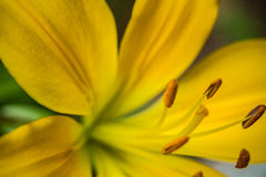 Yellow Summer Lily. Close-up of a yellow lily in summer Royalty Free Stock Photo