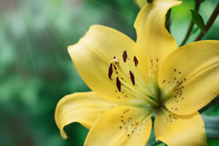 Yellow  summer lily Royalty Free Stock Photos