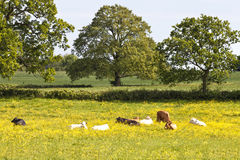 Yellow summer meadow with grazing, resting cows Royalty Free Stock Images