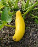 Yellow summer squash growing on a bush plant Royalty Free Stock Photo