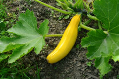 Yellow summer squash growing Stock Image