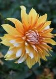 Yellow sun Dahlia. Royalty Free Stock Photography