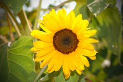 Yellow Sun flower in the blu sky with bee royalty free stock images