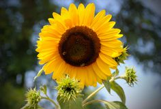 Yellow Sun flower in the blu sky with bee royalty free stock photos