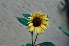 Yellow sun flower in the garden stock image