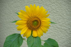 Yellow sun flower (Helianthus annuus) in branch Royalty Free Stock Image