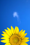 Yellow sun flower under blue sky. Fresh yellow sun flower under blue sky and cloud Royalty Free Stock Photo
