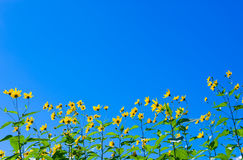Yellow sun flowers over blue sky background. Yellow sun flowers over sky background Stock Photo