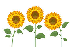 Yellow sun flowers on white background. Sunflowers for spring invitations and summer greeting cards. Sunflower with green leaves illustration Stock Photography