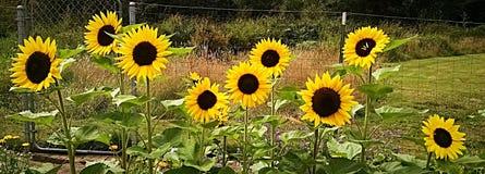 Yellow sun. Garden flowers outdoor summer sunflower Stock Images