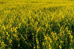 Yellow Sun Hemp Field  Crop View Stock Photo