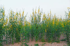 Yellow sun hemp flower field Stock Photos