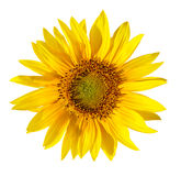 Yellow Sunflower. A single sunflower isolated on white Stock Photos