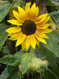 Yellow Sunflower. A bright yellow fully grown sunflower surrounded by green leaves and an old flowerhead with a glimpse of another sunflower in the background Stock Photo