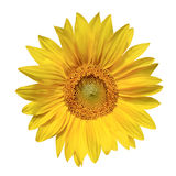 Yellow Sunflower. Big sunflower isolated on white Royalty Free Stock Photography