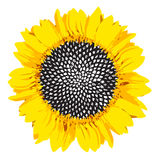 Yellow sunflower. Big yellow sunflower with seeds on white background Royalty Free Stock Image
