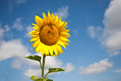 Yellow sunflower. Stock Photo