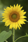 Yellow Sunflower Royalty Free Stock Photos