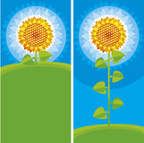 Yellow sunflower. Colour illustration of yellow sunflower Royalty Free Stock Images