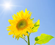 Yellow sunflower. On a blue sky background royalty free stock image