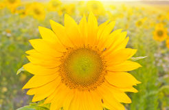 Yellow sunflower. On a meadow stock photography